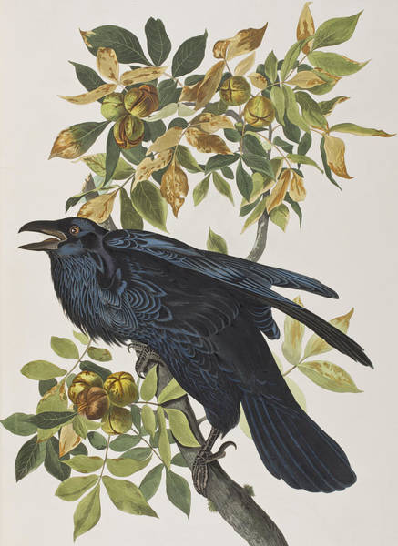 Wall Art - Painting - Raven by John James Audubon