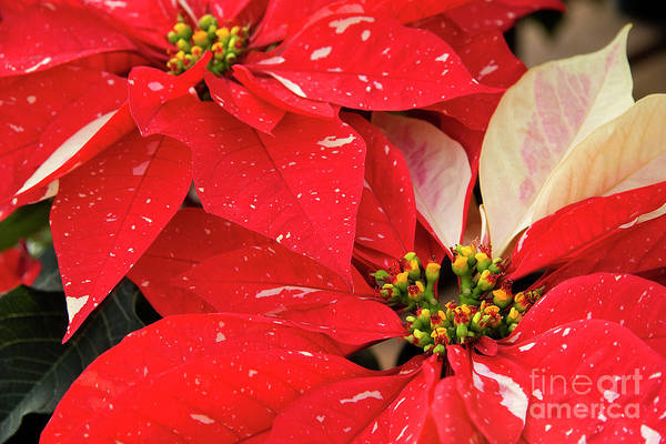 Photograph - Red And White Poinsettias by Jill Lang