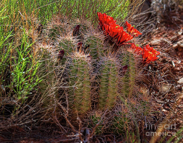 Photograph - Red Bonnets by Jim Garrison