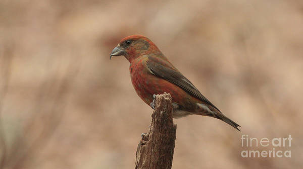 Photograph - Red Crossbill by Charles Owens