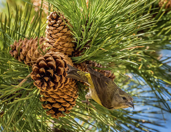 Crossbill Photograph - Red Crossbill by Michael Cunningham