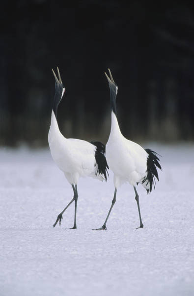 Photograph - Red-crowned Crane Grus Japonensis Pair by Konrad Wothe