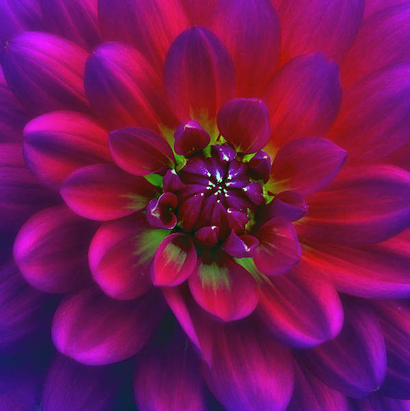 Photograph - Red Dahlia  by Ken Barrett
