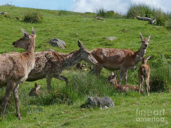 Photograph - Red Deer Hinds And Calves by Phil Banks