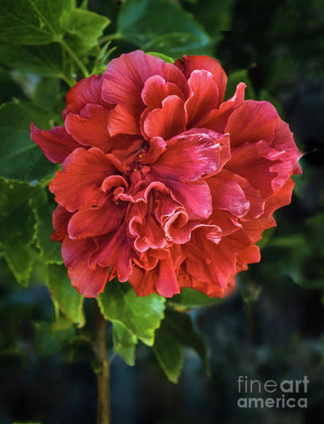 Wall Art - Photograph - Red Double Hibiscus by Robert Bales