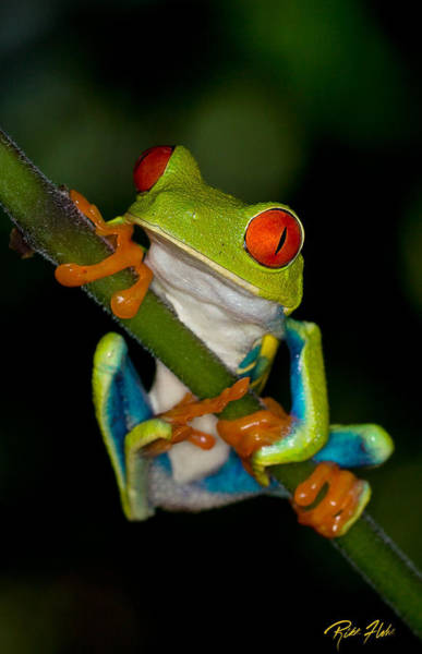 Photograph - Red-eyed Green Tree Frog Hanging On by Rikk Flohr