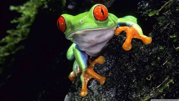 Red Digital Art - Red Eyed Tree Frog by Super Lovely