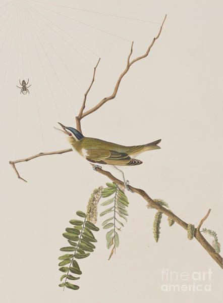 John James Audubon Painting - Red Eyed Vireo by John James Audubon