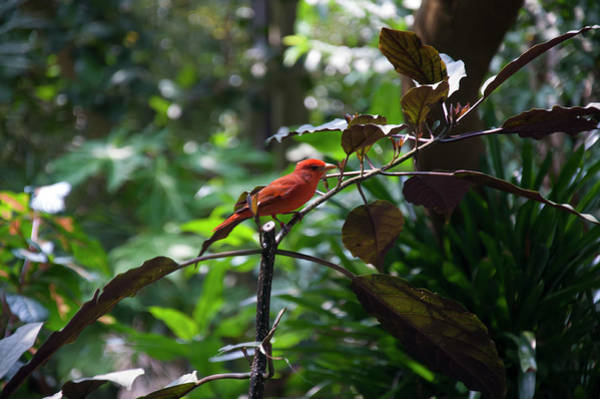 Photograph - Red-faced Liocichla by Chris Flees
