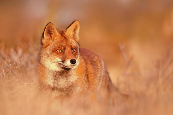 Wall Art - Photograph - Red Fox In Red Light by Roeselien Raimond