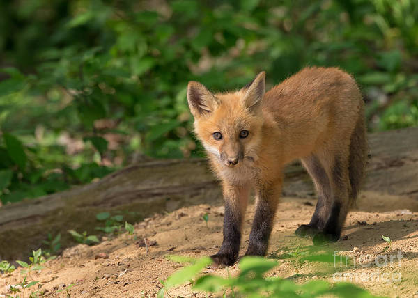 Photograph - Red Fox Kit by Joshua Clark