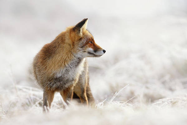Flake Photograph - Red Fox, White World by Roeselien Raimond