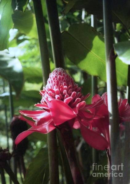 Photograph - Red Ginger Costa Rica by Ted Pollard