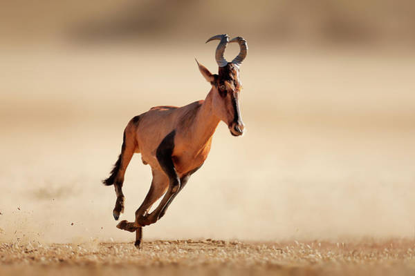 Wall Art - Photograph - Red Hartebeest Running by Johan Swanepoel