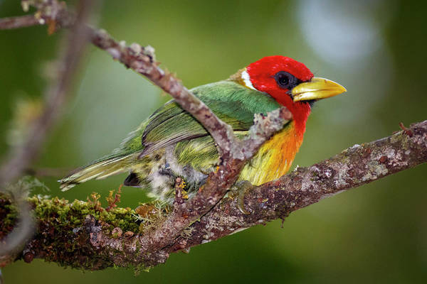 Manizales Photograph - Red-headed Barbet Alcazares Manizales Colombia by Adam Rainoff