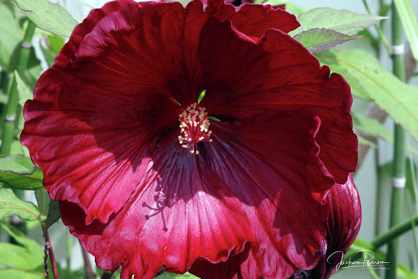 Photograph - Red Hibiscus by Jackson Pearson