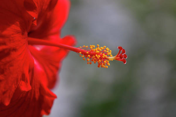 Photograph - Red Hibiscus by Teresa Wilson