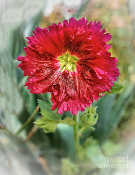 Red Hollyhock Art Print