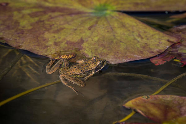 Photograph - Red-legged Frog by Robert Potts