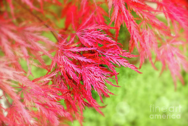 Maple Tree Photograph - Red Maple Leaves by Delphimages Photo Creations