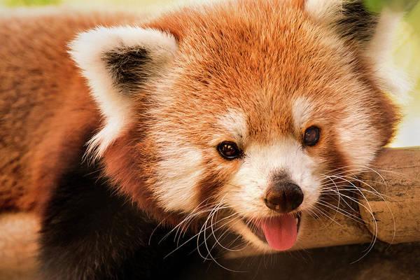 Don Johnson Photograph - Red Panda by Don Johnson