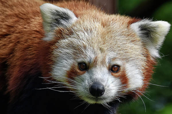 Photograph - Red Panda by Kuni Photography