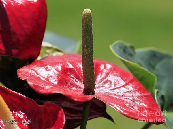 Wall Art - Photograph - Red Peace Lily by J McCombie