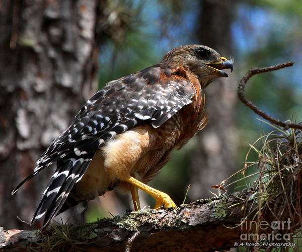 Photograph - Red Shouldered Hawk by Barbara Bowen