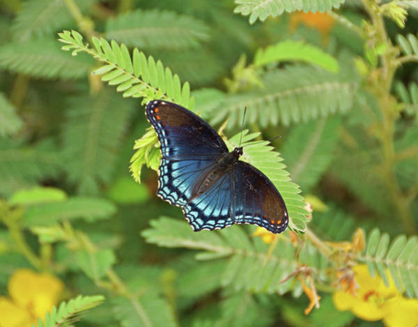 Photograph - Red Spotted Purple Butterfly by Sandy Keeton