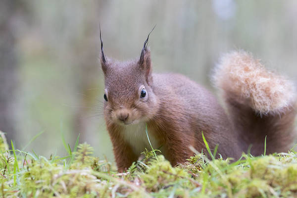 Photograph - Red Squirrel - Scottish Highlands #2 by Karen Van Der Zijden