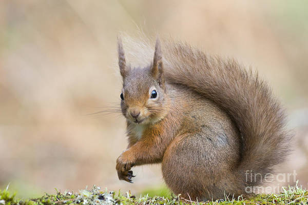 Photograph - Red Squirrel - Scottish Highlands  #19 by Karen Van Der Zijden