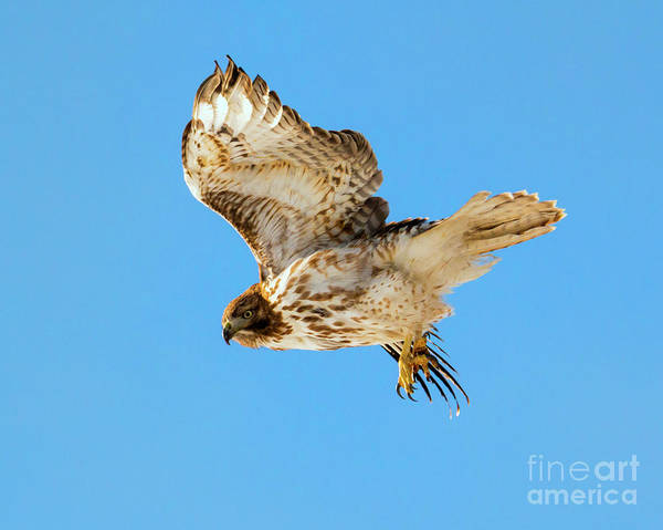 Red Tailed Hawk Photograph - Red-tail Flight by Mike Dawson
