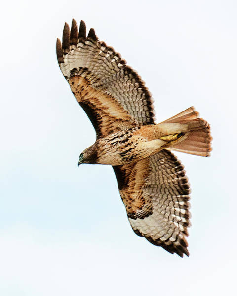 Photograph - Red Tail Hawk by Norman Hall