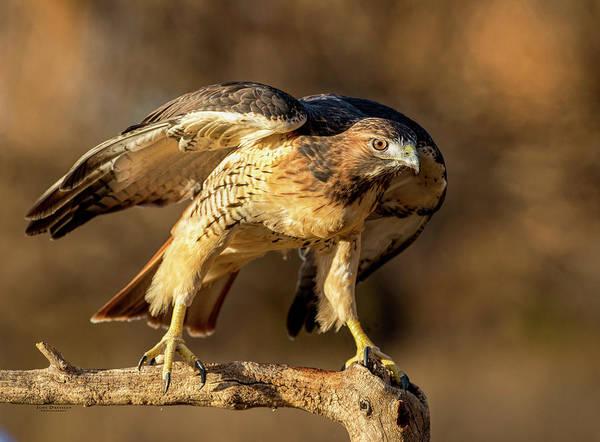 Photograph - Red-tailed Hawk Portrait by Judi Dressler