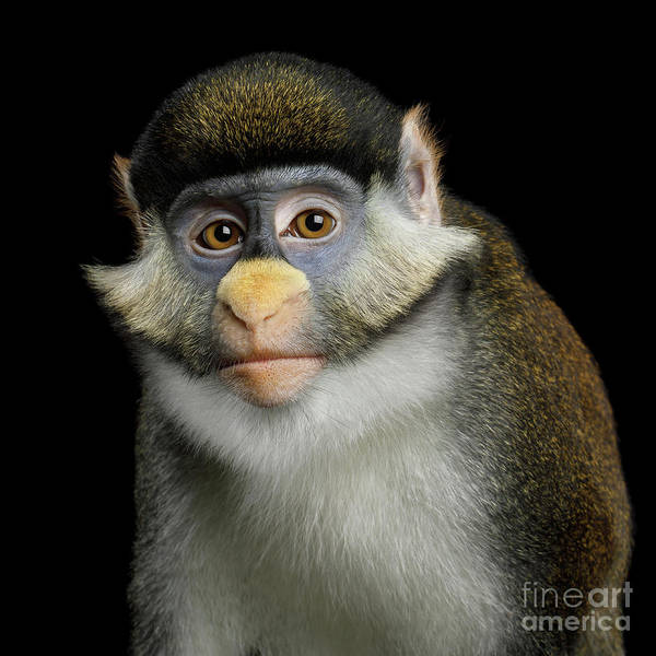 Photograph - Red-tailed Monkey by Sergey Taran