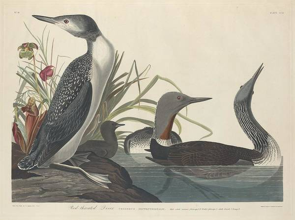Wall Art - Drawing - Red-throated Diver by Dreyer Wildlife Print Collections