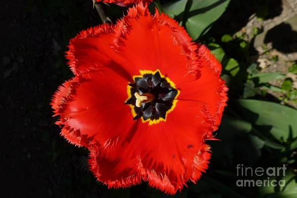 Photograph - Red Tulip by Jean Bernard Roussilhe