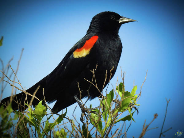 Photograph - Red Winged Blackbird by Elie Wolf