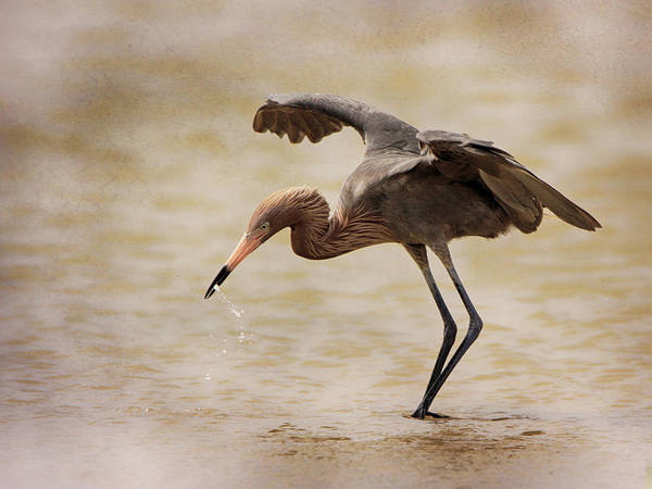 Photograph - Reddish Egret by Charles McKelroy