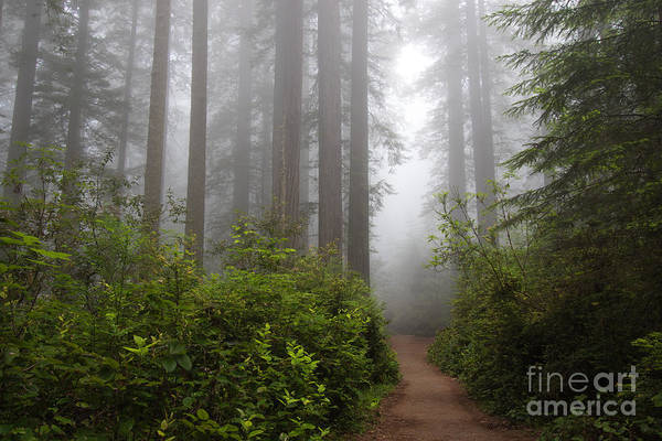 Photograph - Redwood Grove by Vincent Bonafede