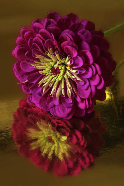 Zinnia Flower Wall Art - Photograph - Reflections by Don Spenner