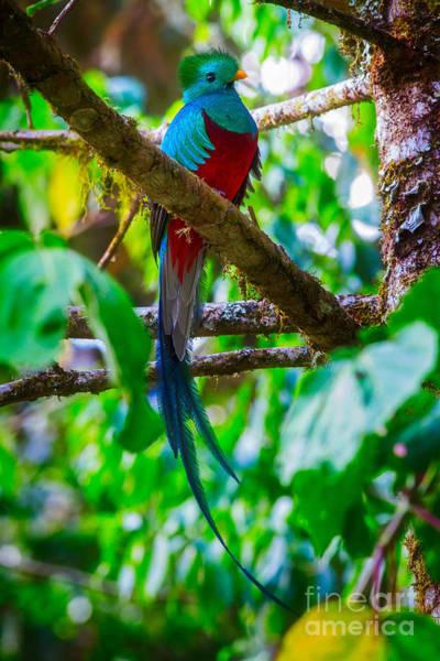Quetzals Photograph - Resplendent Quetzal by Todd Bielby