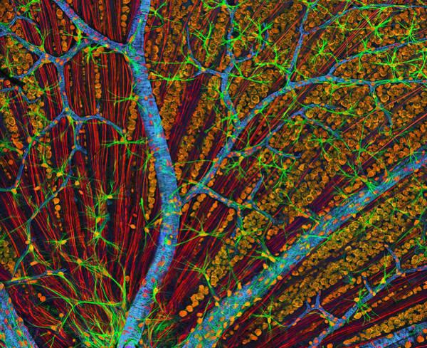 Wall Art - Photograph - Retina Blood Vessels And Nerve Cells by Thomas Deerinck, Ncmir
