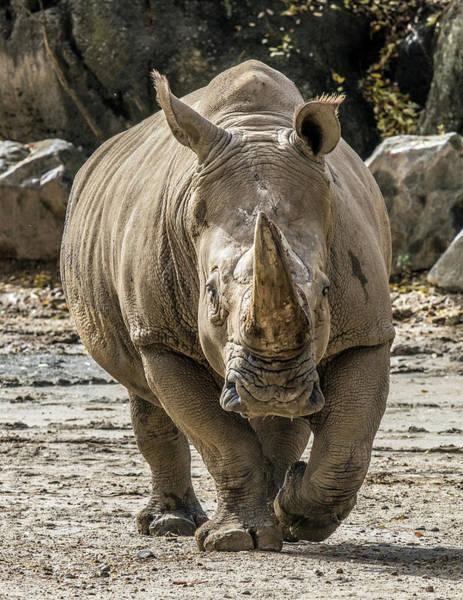 Photograph - Rhino Walking Toward You by William Bitman