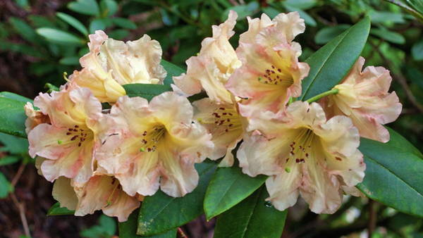 Photograph - Rhododendron by Harold Rau