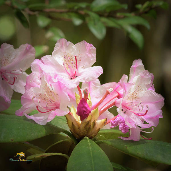 Photograph - Rhododendron by Jim Thompson
