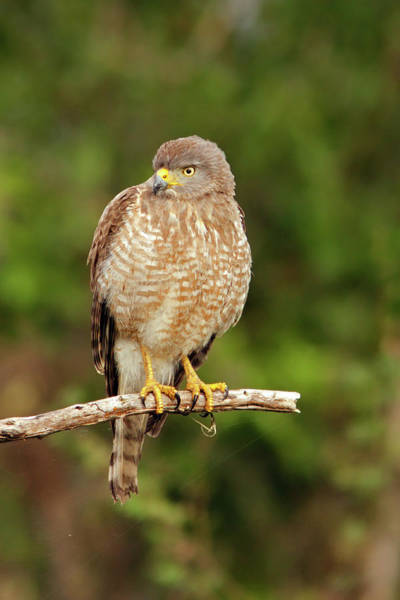 Photograph - Roadside Hawk by Aivar Mikko