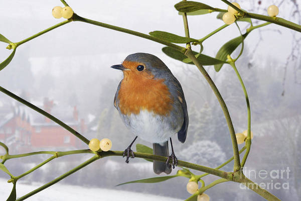 Photograph - Robin On Mistletoe by Warren Photographic