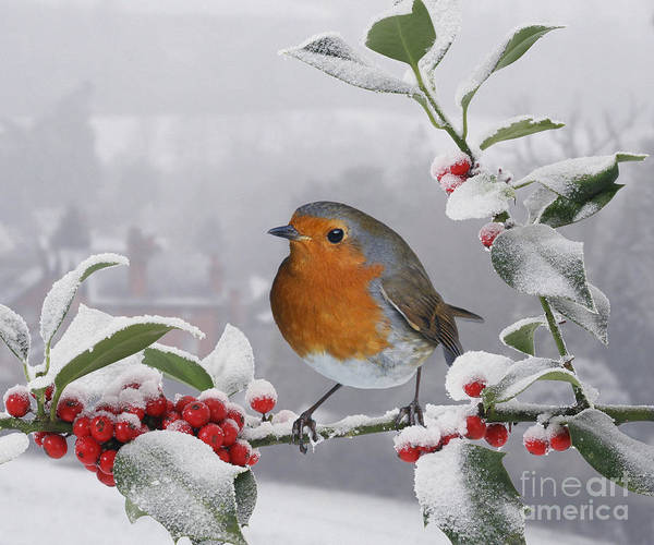 Photograph - Robin On Snowy Holly Berries by Warren Photographic