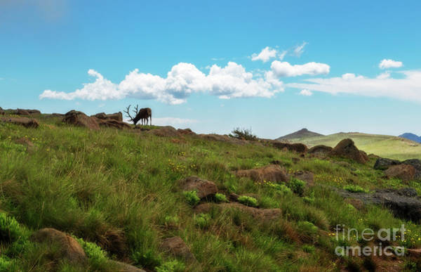 Photograph - Rocky Mountain Elk by Sharon Seaward